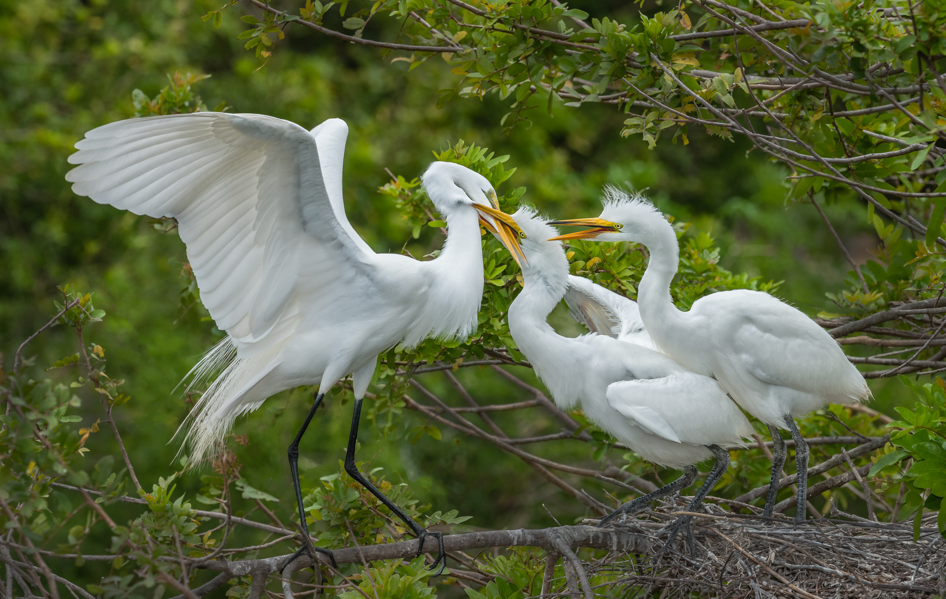 Great Egrets Defending Their Nest