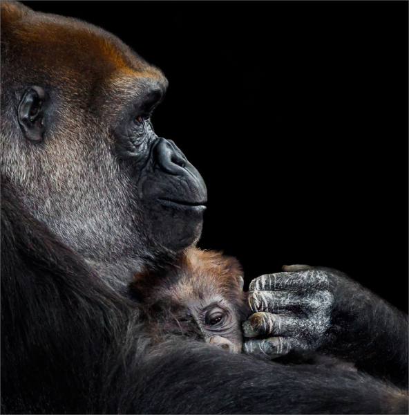 Gorilla and Infant