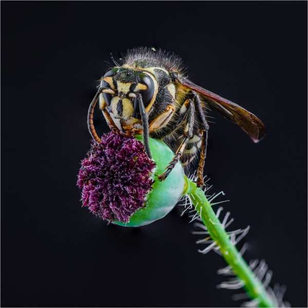 Wasp on seed pod