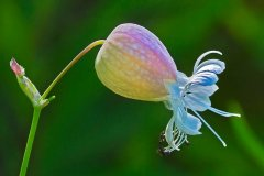 ann_hilborn-bladder_campion-128