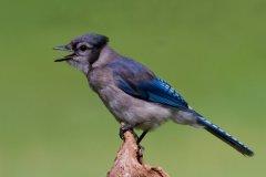 ann_hilborn-blue_jay-128