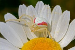 ann_hilborn-goldenrod_spider_on_daisy-128