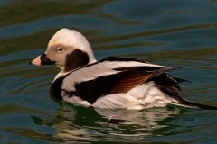 ann_hilborn-male_long_tailed_duck-128