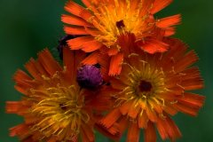 ann_hilborn-orange_hawkweed-128