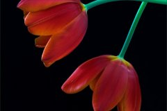 ann_hilborn-tulip_crossing-128