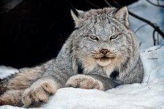 OCND04-Lynx-Canadensis