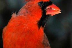NZ1-Male-Cardinal-151-M