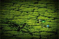 P2-Tea-Harvest-151-M
