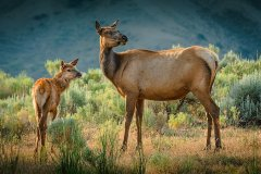 NZ2-Elk-and-Fawn-151-M