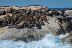 NZ2-Seal-Colony-151-M