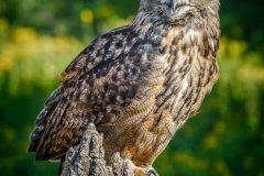 Eurasian-Owl