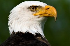 Bob_Bourke-Bald_Eagle