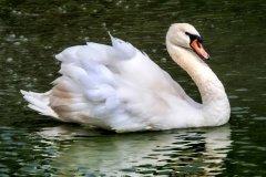 Bob_Bourke-Mute_Swan
