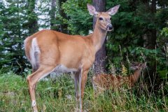 Bob_Bourke-Whitetail_Doe_with_Buck