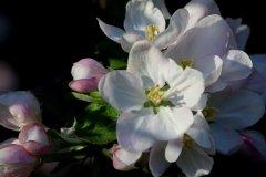 cheryl_goff-apple_blossoms-263