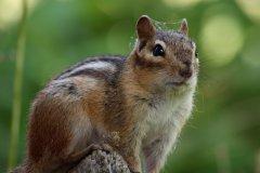 cheryl_goff-chipmunk-263