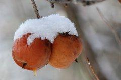 cheryl_goff-frozen_apples-263