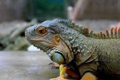 cheryl_goff-iguana-263