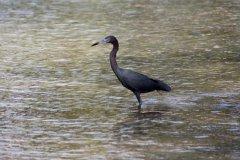cheryl_goff-jamaican_heron-263