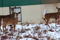 cheryl_goff-three_deer-263