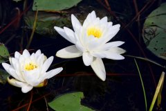cheryl_goff-waterlilies-263