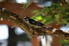 cheryl_goff-woodpecker-263