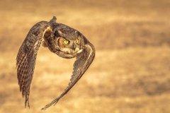 Jeff_Gardner-Great_Horned_Owl