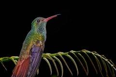 Jeff_Gardner-Rufous-tailed_Hummingbird