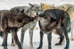 Keith_Marlowe-Playful_Wolves