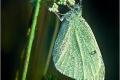 N1-Cabbage-Butterfly-EO-D