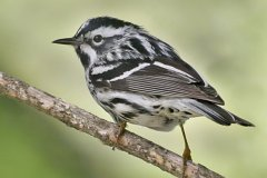 peter_clute-black_and_white_warbler-113