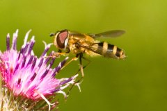 peter_clute-hover_fly-113