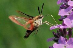 peter_clute-hummingbird_moth-113