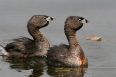 peter_clute-pied_billed_grebe-113