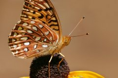 peter_clute-aphrodite_fritillary-113