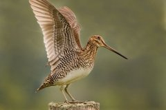 peter_clute-common_snipe-113