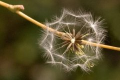 peter_clute-fluffy_seed_head-113