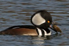 peter_clute-hooded_merganser_with_crayfish-113