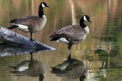 21N1-Canada-Geese-FS-M