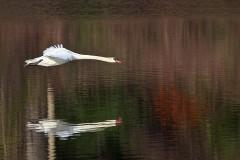 21N1-Mute-Swan-in-Flight-FS