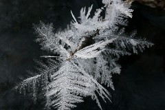 21NG1-Cedar-in-Winter-FS-M