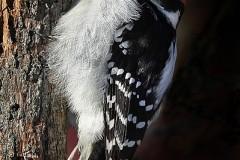 22N1-Hairy-Woodpecker-FS-M