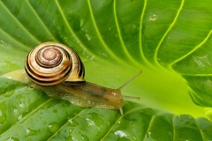 23N2-Garden-Snail-FS-M