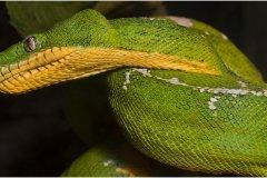 n1-corallus_caninus_emerald_tree_boa-198-d